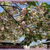 晩春~初夏の京の散歩「千本ゑんま堂の普賢象桜」
