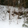 冬のコアジサイ
