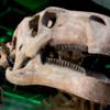 T-レックスの化石が壊れてない状態で発見されました