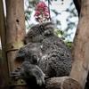 なぜコアラの睡眠時間は長いのか。その理由はちょっぴり切なかった…
