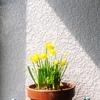 エントランスの新入りは 水仙の 鉢植えです ♡