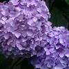 もうすぐ満開の我が家に咲いた紫陽花の様子です!