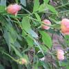 小さな庭のバラ  Ⅴ