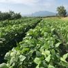 雨が降らず野菜は水不足です!毛豆は順調に育ってますよ!