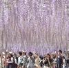 とても綺麗な藤と桜ですね*(♥︎●ᗜ●♥︎)*