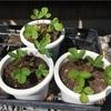四季なりイチゴ  種まきから3ヶ月