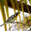 ベリーズ 庭木のヤシに来た Yellow-throated Warbler(イエロースローテッド ワーブラー)