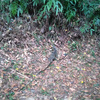 ジョギング中に見かけたオオトカゲ