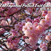 【桜情報】まるで植物園! 皇居東御苑 @東京駅