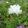 白い蓮華(1)