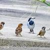 0905【鵜の鳴き声と求愛か喧嘩】カルガモ椅子取りやスズメ戦隊にカワセミおしっことハルジオン【今日撮り野鳥動画まとめ】身近な生き物語