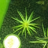 ホシクサキネレウムの成長