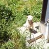 柴犬ばん太(♂1才2ヶ月)梅雨入り前の運動食事排泄の状況をレポート致します。雑草茫々の古民家や田畑の間から。