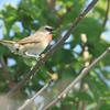 天売島の草原の鳥たち
