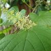 山に生えるブドウ ヤマブドウとノブドウの違いとは?
