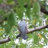 秋ヶ瀬・桜草公園の野鳥 ツツドリ他 2021年9月5日