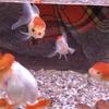 金魚のあくび