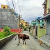 ネパールはワンコの天国!?でも狂犬病問題も