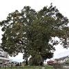 樹勢が盛んで大木になるため,神聖視されたケヤキ.万葉時代は槻(つき)/ 万葉集 とく きても,みてましものを,やましろの,たかの つきむら,ちりにけるかも 高市黒人