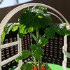 チャレンジ5月号のトマト栽培セット 初めて水を追加しました