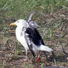羽にいたずら、カモメ飛べず 苫前で保護