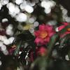 ひっそりと山茶花が咲いている場所