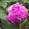 雨の中のボタンの開花&花びらのじゅうたん&色とりどりの野の花たち&かっこよくなっていたジョリーくん&筍初収穫♪