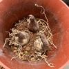 ヒガンバナ球根を植え付け 0529