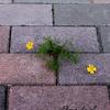 花からの思いがけないプレゼント!! こぼれダネから咲いたダークベルグデイジー♪