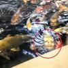出た❗人面魚....顔が怖い