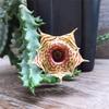 シマシマの花