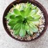 オロスタキス属の爪蓮華が始動!この春は斑入りが増産体制に入りそうな気配
