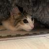 その名は「ひまルンバ」!我が家のお猫様ひま日記7