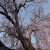 桜とカタクリ