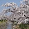 奈良大和高田千本桜。満開。