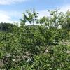 栗毛虫と梅の実