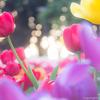 【2017年】江の島サムエル・コッキング苑で冬にしか咲かない「ウィンターチューリップ」を撮影する