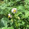 キタアカリ開花