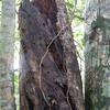 やんばるの森事情5-枯れ木の効能