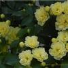 モッコウバラ,Rosa banksiae,バラの体験講座