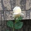 雨の朝のバラ