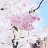 【成城学園前】成城さくらフェスティバル*桜祭りへ行ってきました。