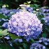 紫陽花と東雲の里とフィルムカメラと。