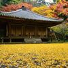 毎年 黄色のじゅうたんが楽しみです - 国宝 富貴寺(ふきじ)の紅葉