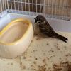 スズメの水浴び 写真で紹介