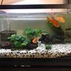 金魚(小赤・出目・ヤマトヌマエビ)の水槽を新調します。