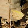 ツマグロキチョウ Eurema laeta