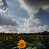 週末風景「7月最後の日・夏雲とヒマワリ」