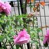 「美しき五月のバラ」を思って!