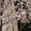 都会の桜。